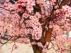ohhhhh... cherry blossoms!
