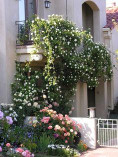 Плетистые розы в саду, на арках и стенах дома. Обсуждение на LiveInternet - Российский Сервис Онлайн-Дневников