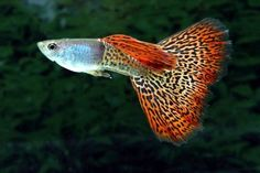 Betta Fish Types and Colors | ... fish the guppy is the most well known freshwater fish in the world and
