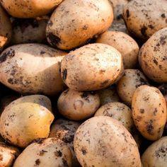A fresh harvest of Yukon Gold potatoes.