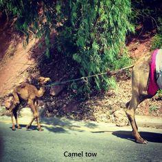 Camel tow.