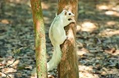White Fox Squirrel (