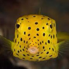 Yellow spotted fish! #dots