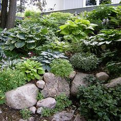 Lessons from a Minnesota Shade Garden Hostas! I think this is what I m going for on the front hill, any thoughts Hostas! I think this is what I m going for on the front hill, any thoughts Hillside Garden, Hillside Landscaping, Sloped Garden, Landscaping With Rocks, Lawn And Garden, Landscaping Ideas, Minnesota Landscaping, Rocks Garden, Cedar Garden