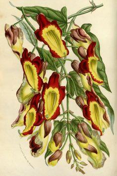 Sapatinho de judia- veja como cultivar essa planta incrível! - Adriano Gronard Paisagismo