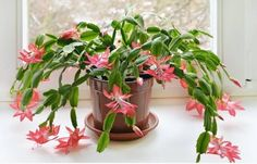 """Christmas Cactus Included in the cactus family because of its ability to store water, the """"Christmas"""" variety is much more whimsical and colorful than the spiny, needle-covered desert versions that typically come to mind. In addition to producing lovely flowers in December, Christmas cacti are excellent air purifiers—just make sure you strike the right hydration balance."""