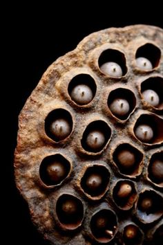 Seeds   Dried Lotus seeds    Whimsical Home and Garden