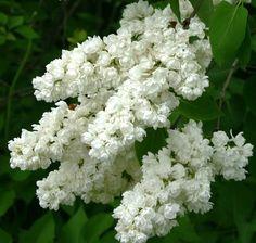 Flieder Syringa vulgaris 'Pamjat' o Kolesnikowe' - Russische Raritäten - Flieder-Raritäten Fliedertraum