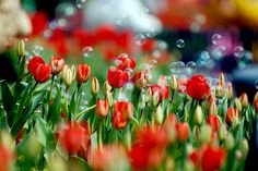 Flickr Search: tulips | Flickr - Photo Sharing!