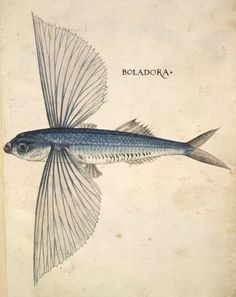 Flying fish, Boladora, associated with John White, 1585-93. Pen and ink and…