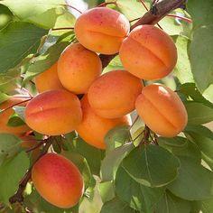 New Apricot Self-fertile Sweet Tasty Orange Fruit Seeds Strawberry Plants, Fruit Plants, Fruit Garden, Buy Fruit Trees, Fruit Bushes, Growing Raspberries, Growing Grapes, Fruit Bearing Trees, Apricot Tree