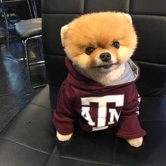 jiffpom  dog, doglovers, dog lovers, bulldog, Jiff