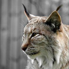 Lince Ibérico , seu habitat são as florestas e os matos das zonas montanhosas de Coto de Doñana , no sudoeste da da Espanha . Durante muito tempo pesquisaram para confirmar se ainda havia linces nos Pireneus ; um número reduzido conseguiu sobreviver .