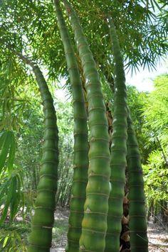 Bambusa vulgaris 'Wamin' (Golden Bamboo; Buddha's Belly Bamboo) - native to China