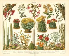 1904 Christmas Cactus, Mistletoe Cactus, Agave Cactus, Saguaro Cactus, Paddle Cactus, Nightblooming Cereus, Melon Cactus Antique Lithograph