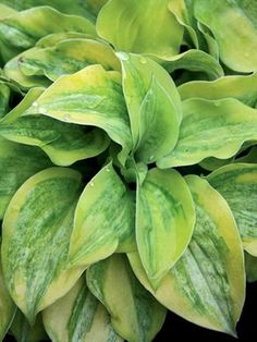 We've been growing this Jim Anderson sport of Hosta 'Cheatin' Heart' since 2001 and in that time it has become one of our favorite small hostas. Finally we have enough to share. Our parent plants have never exceeded 6 in height x 8 in width. The chartreuse-yellow leaves have an unusual central pattern of green that takes up 80 of the leaf area and the green is then overlain with a white frosting. Hosta 'Silver Threads and Golden Needles' is topped with 8 stalks of light lavender flowers in…