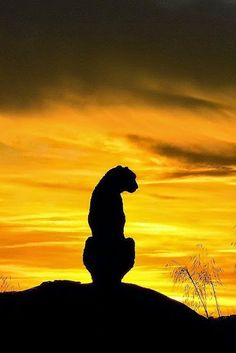 A Cheetah is observing the sunset in Africa.