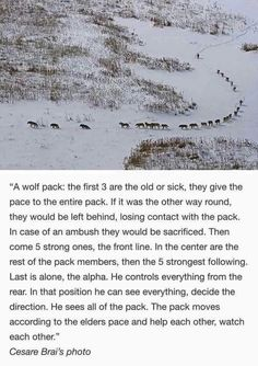 Wolf pack hierarchy