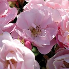 """Kateryna™, A beautiful little shrub rose. Delicate, 2 1/2"""" blooms (petals 12) of soft, shell-pink produced in large clusters on a compact repeat blooming spreading bush with glossy, dark-green foliage. Excellent for the front of the border in perennial gardens or as a landscape specimen plant."""