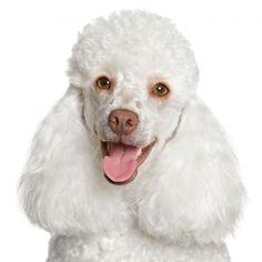 Quitar las manchas de los ojos del caniche paso a paso. Los caniches, al igual que otras razas caninas de color blanco, o muy claro, son propensos a sufrir unas feas manchas de color óxido alrededor de los ojos. Estas...