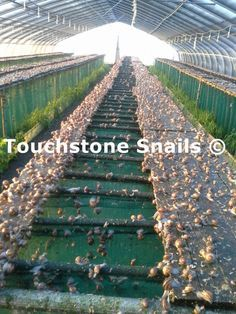 Touchstone Snails thanks to its experience & high quality academic knowledge, provides comprehensive services to anyone wishing to invest in snail farming. Sustainable Farming, Urban Farming, Aquaponics System, Hydroponics, Meal Worms Raising, Snail Farming, 10 Gallon Fish Tank, Compost Soil, Composting
