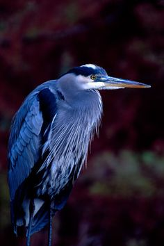 """Blue Heron 231 "" Picture by Patrick O'Leary buy now as poster, art print and greeting card.."