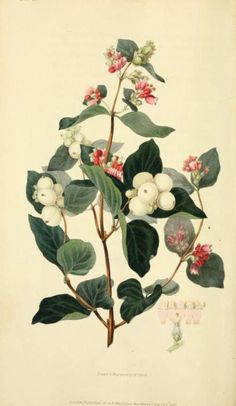 Snow-berry, St. Peter's Wort.  Illustration taken from 'Flora Conspicua' by Richard Morris, William F. L.S. Clark.  Published 1826 by Longman, Rees, Orme, Brown, and Green.  New York Botanical Garden, LuEsther T. Mertz Library.  archive.org