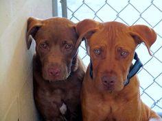 #Founddogs 6-9-14 STRAYS #Palatka #FL ID# 1329 & 1330 Male & Female #LabradorRetriever mix PCSO ANIMAL SERVICES https://m.facebook.com/story.php?story_fbid=722836247779264&substory_index=0&id=519613888101502