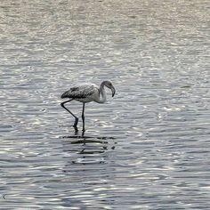by http://ift.tt/1OJSkeg - Sardegna turismo by italylandscape.com #traveloffers #holiday | #Repost @phoenietzsche with @repostapp  Vita da pullo. 7 febbraio 2016 Saline di Molentargius Quartu Sant'Elena. #likes_sardegna #sardiniaofficial #sardegna_paradiso #sardiniaphotos #sardiniaexperience #igersardegna #sardiniamylove #igersitalia #igerscagliari #instasardegna #igfriends_sardegna #ig_cagliari #loves_sardegna #vivosardegna #loves_cagliari #volgosardegna #ilovesardegna #sardegna…