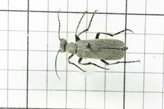 Ashgray Blister Beetle, Order Coleoptera: Family Meloidae (Top) J. Cauthorn
