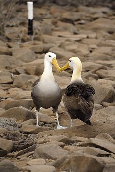 Waved Albatross in a mating dance on Española Island, part of the Galápagos Islands.