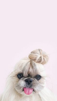 Dog with Bun iPhone Wallpaper Puppy Wallpaper Iphone, Cute Dog Wallpaper, Animal Wallpaper, Emoji Wallpaper, Colorful Wallpaper, Wallpaper Gatos, Shih Tzu, Cute Baby Animals, Animals And Pets
