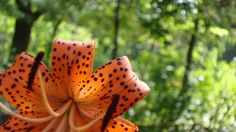 tiger lilly <3