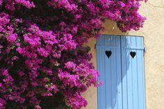 Floarea de hârtie pot fi colorate de la roşu sau violet, în galben și portocaliu intens. Florile au un aspect de hârtie, de unde îi vine și supranumele.