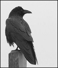 the raven: they mate for life, both parents feed their chicks, and they are unselfish: calling other ravens whenever a carcass is found and share their food with hungry ravens. many consider them the most intelligent of all birds. although they are commonly associated with death, they almost never kill other animals, like vultures, they only eat what is already dead.