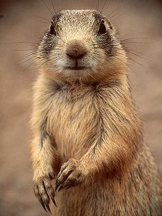 Prairie dogs are burrowing rodents native to the grasslands of North America. The five different species of prairie dogs are: black-tailed, white-tailed, Gunnison's, Utah, and Mexican prairie dogs.  Prairie dog by nalindes