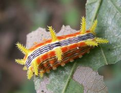 amazing caterpillars | The World's Top 10 Most Amazing Caterpillars | The Worlds top 10 of ...