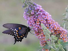 Butterfly Bush is a butterfly's favorite food source.
