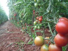 El cherry rojo lupita, es el cherry mas común, pero no por eso,  deja de ser un tomate sabroso, esta variedad tiene buenos frutos y de sabor intenso. http://www.cherryland.es