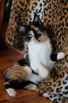 Calico cat.   Shes so gorgeous! ♥♥