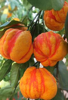 Citrus aurantium 'Bizzarria' - È una vera rarità che presenta frutti sia dell'arancio amaro sia del limone cedrato e frutti mostruosi, bitorzoluti, dai colori giallo, arancione e verde, a seconda della prevalenza del limone, dell'arancio o del cedro. It is a rarity that has both the bitter fruits of both the lemon and citron fruits monstrous, lumpy, with the colors yellow, orange and green, depending on the prevalence of lemon, orange or lime. Weird Fruit, Strange Fruit, Colorful Fruit, Tropical Fruits, Fruit Plants, Edible Plants, Home Garden Plants, Fruit Garden, Fruit And Veg