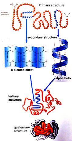 Proteins are the largest and most varied class of biological molecules, and they show the greatest variety of structures. Many have intricate three-dimensional Cell Biology, Molecular Biology, Ap Biology, Medical Laboratory, Medical Science, Science And Technology, Mad Science, Science Images, Metabolism