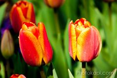 Red and Orange Tulips Print