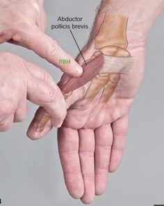 Massz Human Body Anatomy, Human Anatomy And Physiology, Muscle Anatomy, Massage Tips, Massage Therapy, Hand Therapy, Physical Therapy, Reflexology Massage, Muscular System