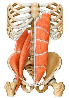 Belle représentation du psoas iliaque, droit de l'abdomen et du carré des lombes.
