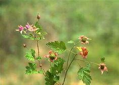 Native Raspberry, Rubus parvifolius (syn. R. triphyllus).  Planted Oct '12