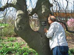 Weeping European Beech---Morton Arboretum
