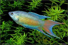 Macropodus Opercularis, aka Paradisefish or Paradise Gourami Betta Fish Types, Betta Fish Tank, Tropical Fish Aquarium, Freshwater Aquarium Fish, Pretty Fish, Beautiful Fish, Cichlid Aquarium, Fish Aquariums, Cool Fish Tanks