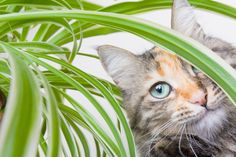 Some plants are toxic to cats and others are simply overly attractive to these curious furballs, especially when it comes to the spider plant. Why are cats so attracted by these plants, and will spider plants hurt cats? Read this article to learn more.