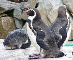 TIP: ZOO Košice - mláďatá tučniakov  KDE: Košice GPS: N 48.7835514778 E 21.2037795782 Kŕdeľ tučniakov v košickej zoologickej záhrade sa nedávno rozrástol o ďalšie dve mláďatá. Chovné zariadenie tak v súčasnosti obýva 12 tučniakov jednopásych.  http://www.dobrynocleh.cz/clanky/co-se-kde-deje/novi-milacikovia-v-ciernom-fraku-sa-uz-predstavuju-v-kosiskej-zoo-